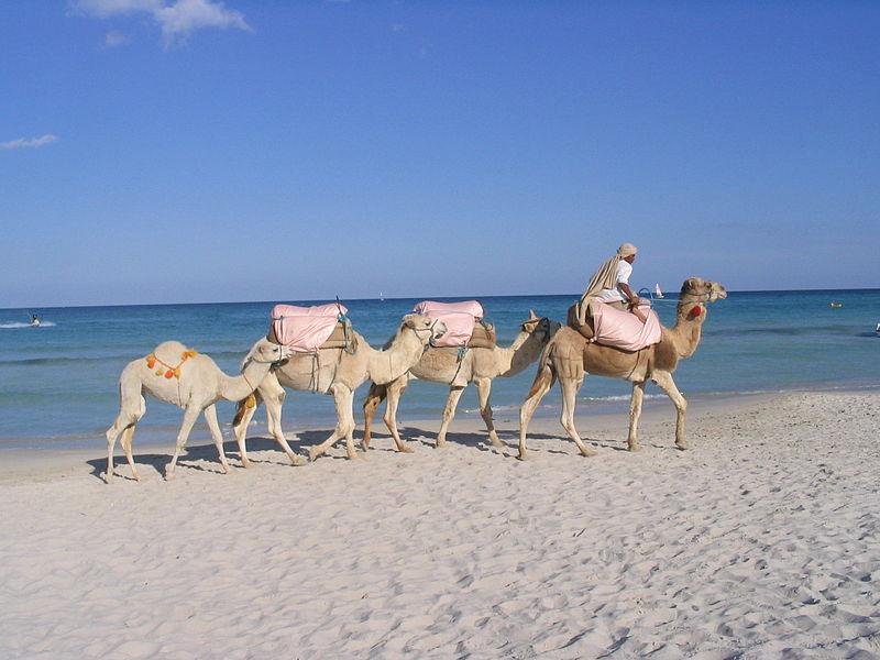 Camels at Djerba, Tunisia